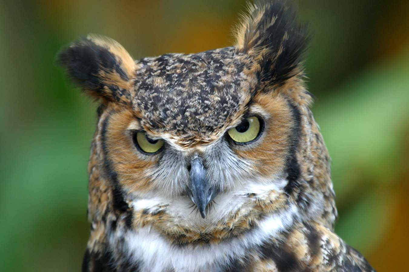 Halloween Fun Fact: The owl is a popular Halloween image. In Medieval Europe, owls were thought to be witches, and to hear an owl's call meant someone was about to die.