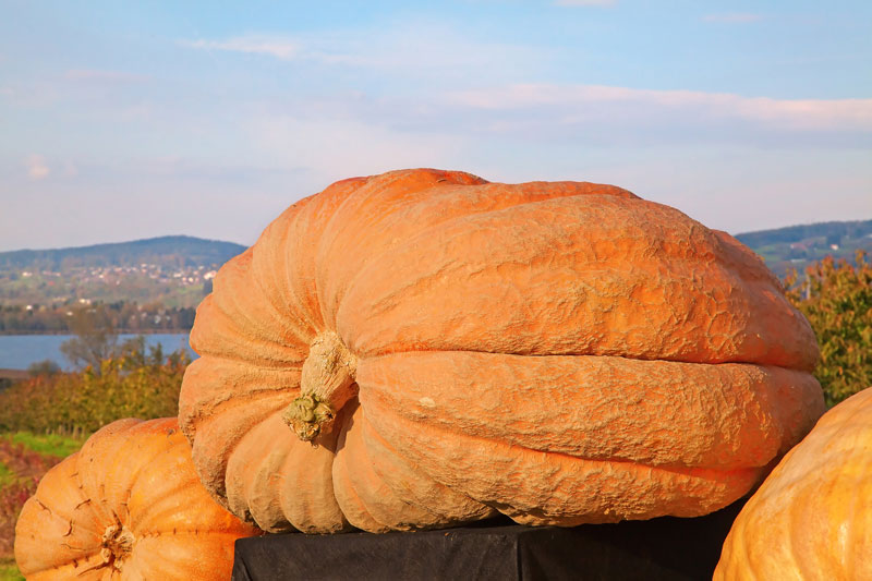 Halloween Fun Fact: 9.The largest pumpkin ever measured was grown by Norm Craven, who broke the world record in 1993 with a 836 lb. pumpkin.