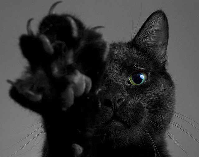 Halloween Fun Fact:  Black cats get a bad rapon Halloween because they were once believed to be witch's subordinates who protected their master's dark powers.
