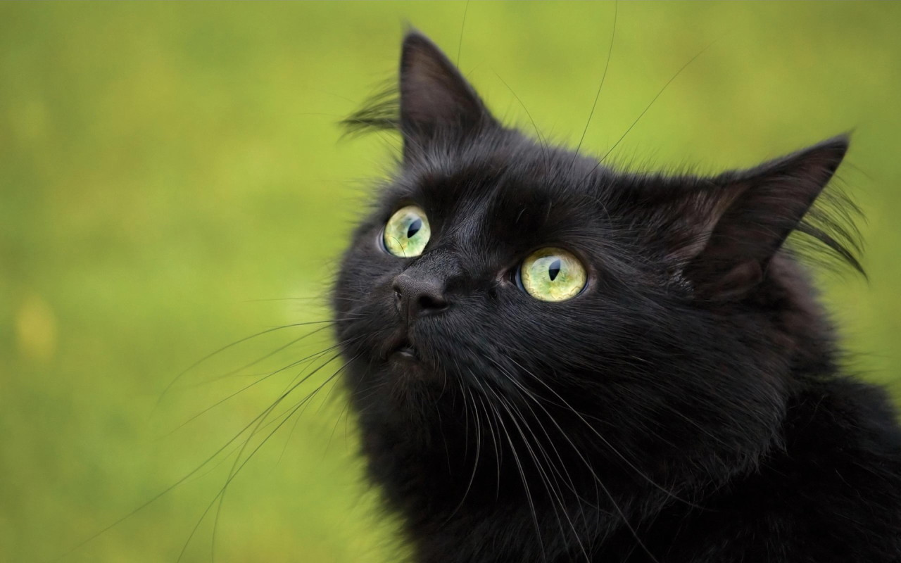 Halloween Fun Fact: Many shelters don't allow black cats to be adopted around Halloween for fear that they may be tortured or sacrificed.
