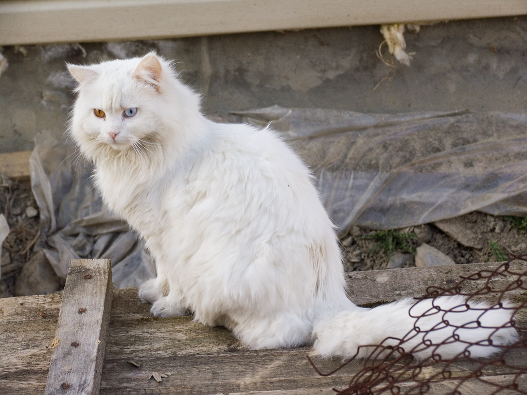 Halloween Fun Fact: In the UK white cats are thought to bring bad luck, not like black cats in the US.