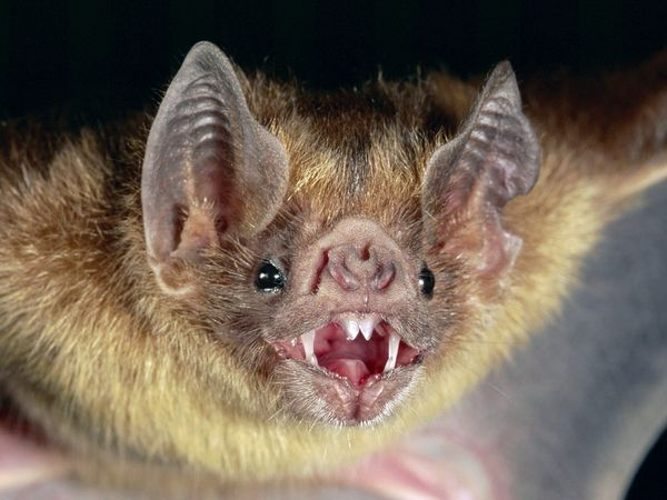 Halloween Fun Fact: There really are so-called vampire bats, but they're not from Transylvania. They live in Central and South America and feed on the blood of cattle, horses and birds.